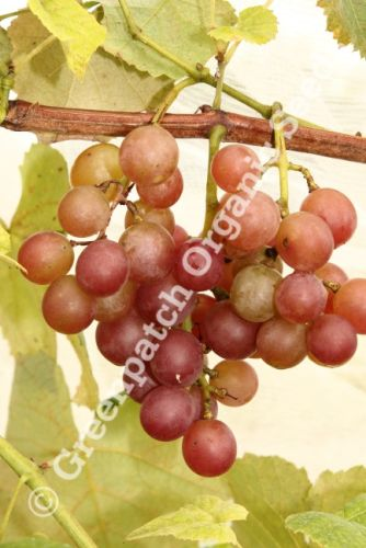 Grape - Golden Muscat