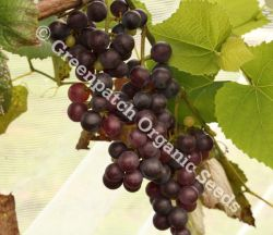 Grape - Black
