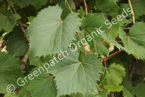 Grape - Leaf