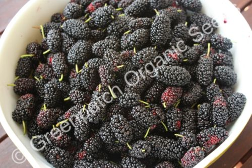 Mulberry Black Plant