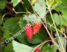 Strawberry - Alpine Alibaba Plants