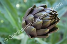 Artichoke - Purple Headed