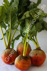 Beetroot - Touchstone Gold