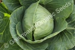 Cabbage - Golden Acre
