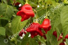 Chilli - Bell Plant