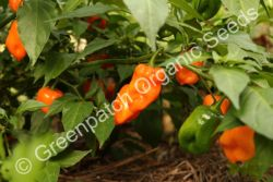 Chilli - Habanero Orange Plant