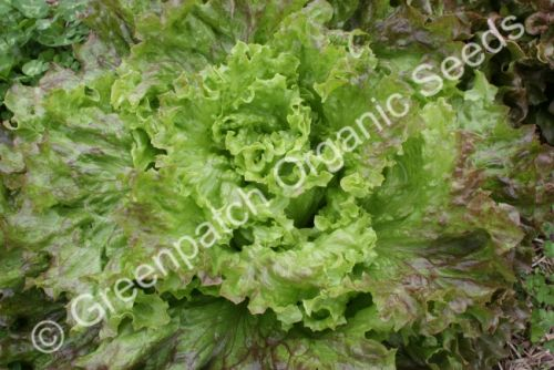 Lettuce - Frilly Pink