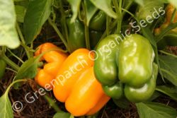 Capsicum - Golden Californian Wonder
