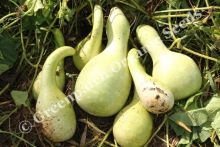 Gourd - Large Mixed