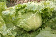 Lettuce - Great Lakes (Iceberg)