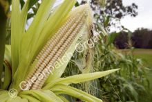 Corn Maize - Manning White